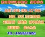 批发四季青草坪种子 高羊茅草坪种子 紫羊茅种子 绿化专用草坪;