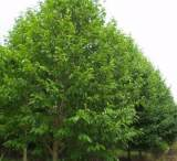 低價出售蘇北優質苗木烏桕 8-15公分 園林綠化工程用苗;